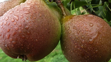 Temple Court Farm | Bobury - Perry Pears