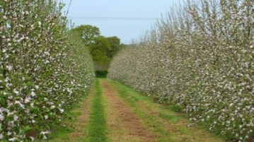 Temple Court Farm | Bosbury - Cider Apples